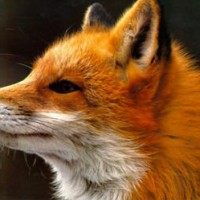 raposa2